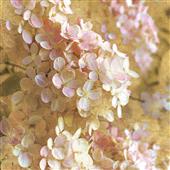 Cuadro canvas gilded hydrangea I