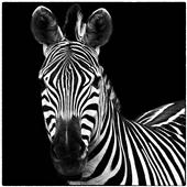 Cuadro canvas zebra square