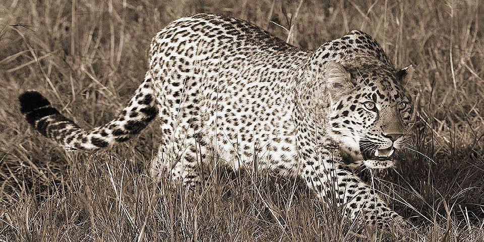 Cuadro canvas fotografia leopard hunting