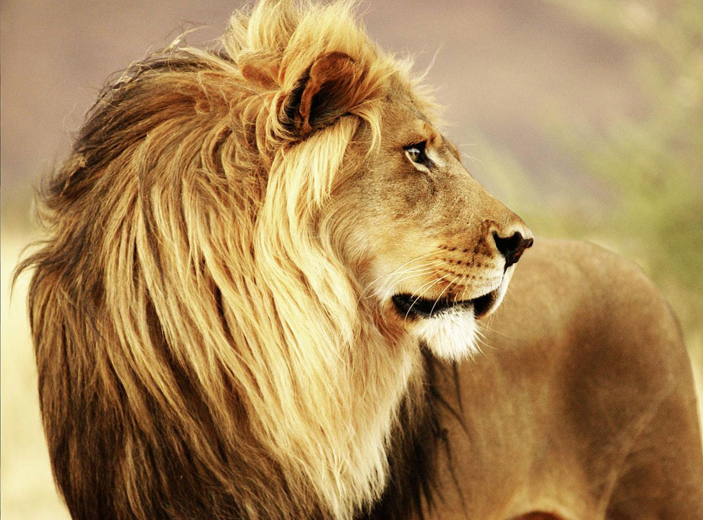 Cuadro canvas male lion namibia