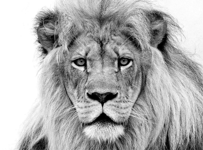Cuadro canvas leon